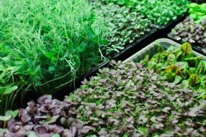 Какую микрозелень рекомендуется выращивать?