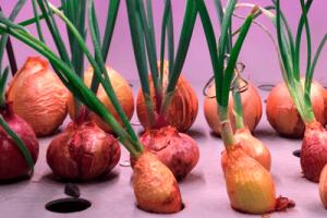 Микрозелень как бизнес: выращивание круглый год!