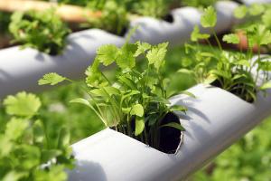 Микрозелень на гидропонике: как выращивать зелень без грунта?