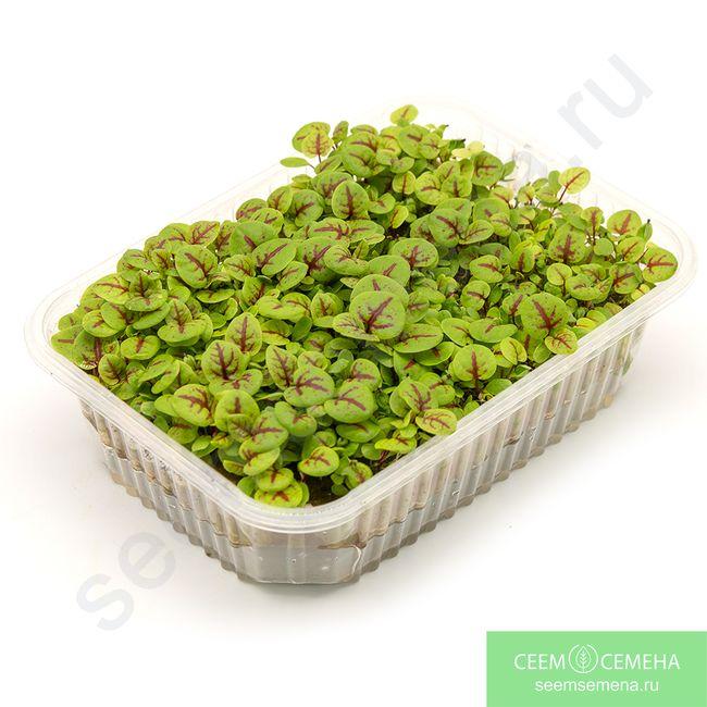 семена микрозелени щавель