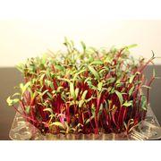 Какую зелень можно вырастить на продажу: популярные сорта микрозелени?